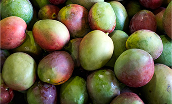 Mango Produce & Production Best Practices   National Mango Board