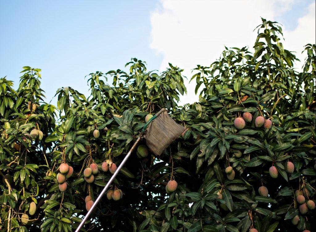 Mango Tree Fruit Picker