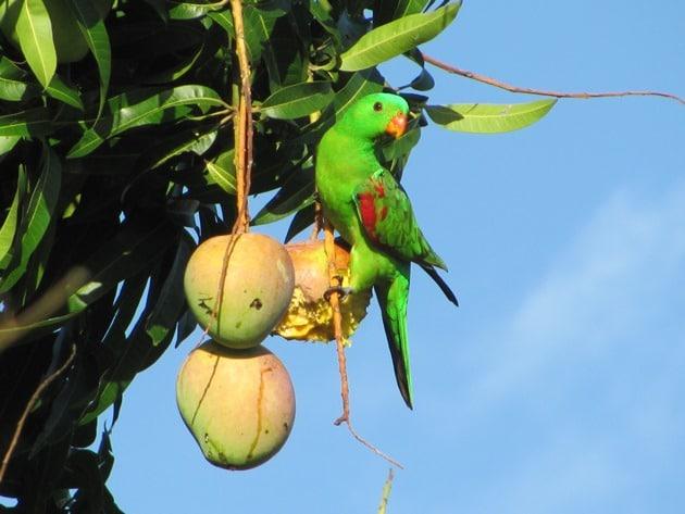 What Animals Eat Mangos | National Mango Board
