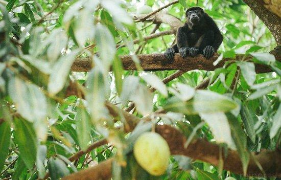Howler Monkey Sitting in a Mango Tree