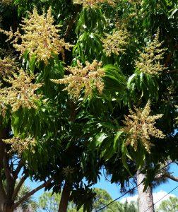Mango Tree without Mangos