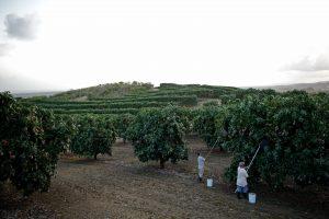 Men Picking Mangos in a Mango Tree Orchard
