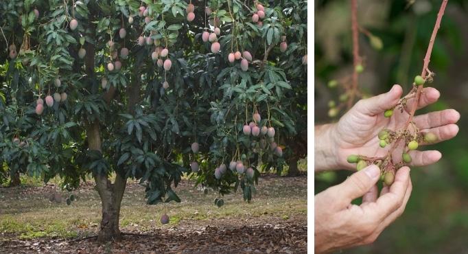 Buying Mango Trees 1