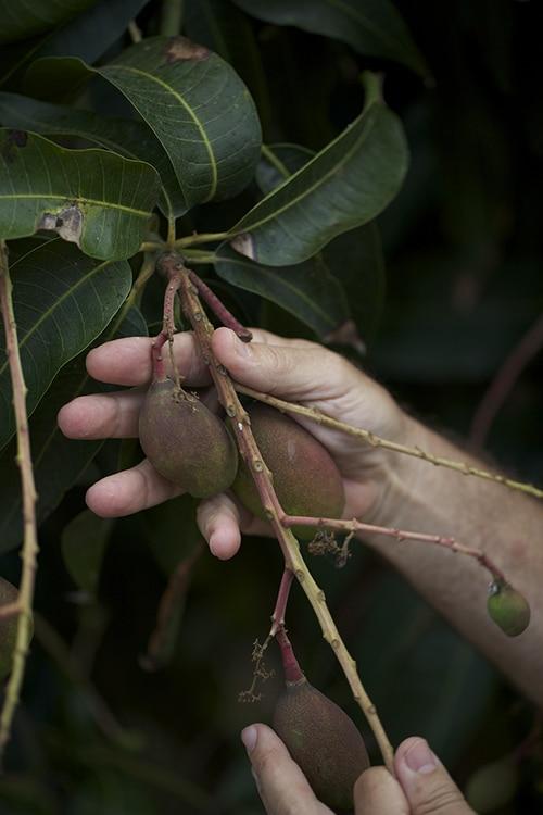Buying Mango Trees 2