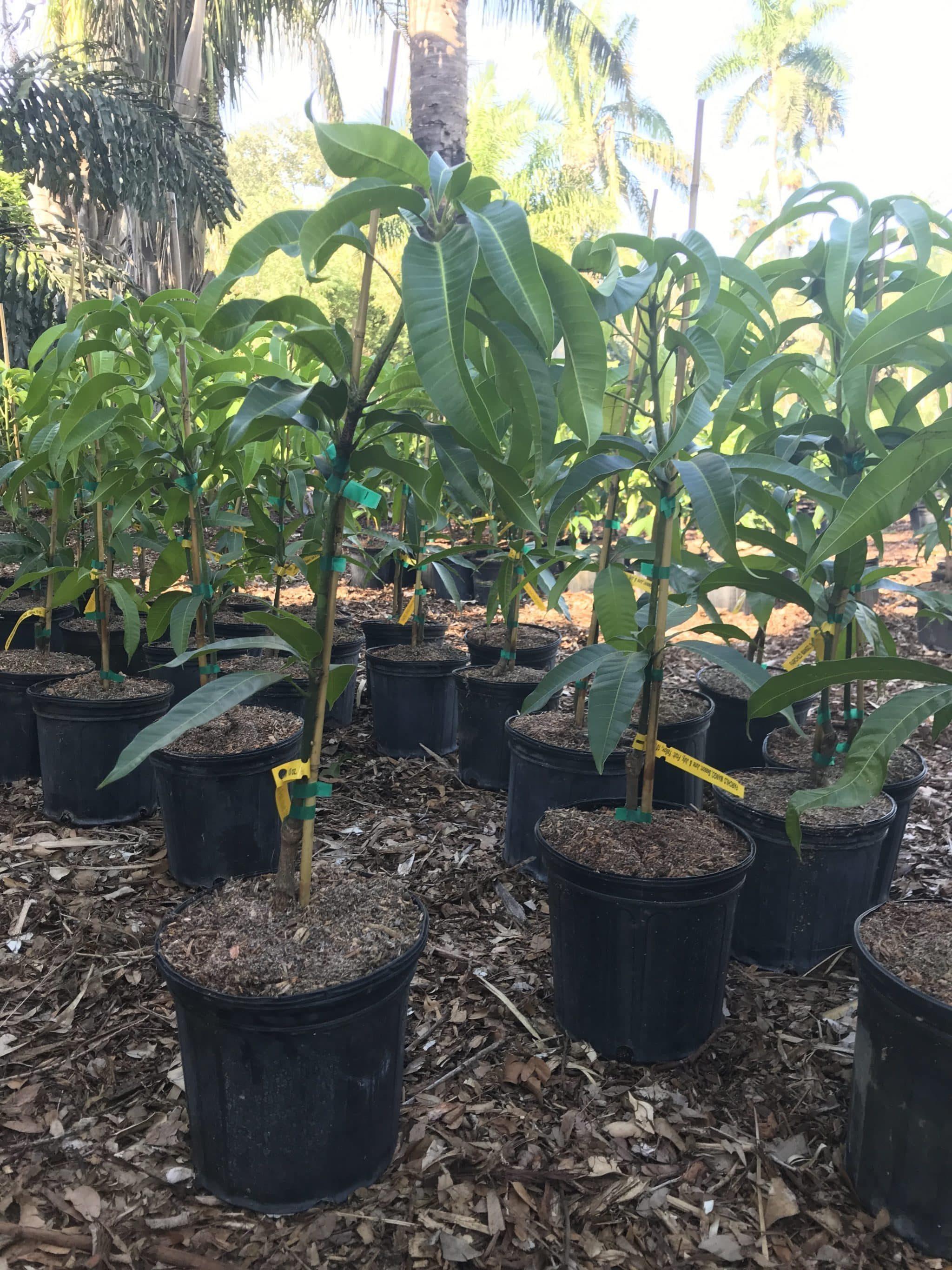 Dwarf Mango Trees Not So Difficult To Grow Mango Org